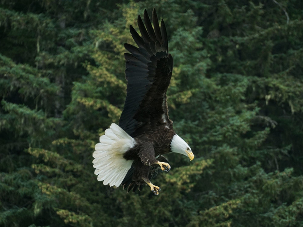 eagle-flying-forest-1000